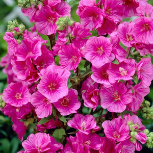 Lavatera 'Burgundy Wine' Evergreen Shrub 9cm