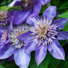 Clematis 'Multi Blue' Hardy Climber in 9cm pot