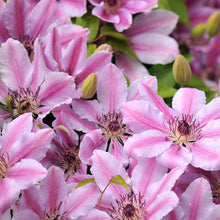 Clematis 'Nelly Moser' Hardy Climber in 9cm pot
