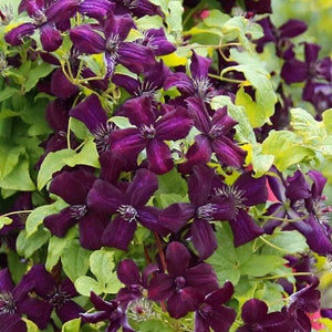 Clematis 'Dark Eyes' Hardy Climber in 9cm pot