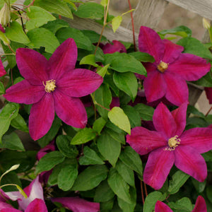 Clematis 'Sunset' Hardy Climber in 9cm pot