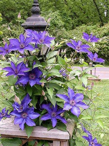 Clematis 'The President' Hardy Climber in 9cm pot