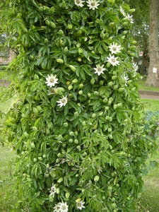 Climber Passion Flower 'White Lightening' Hardy Climber in 9cm pot