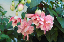 PACK OF 4 Trailing Fuchsia Hanging Basket Mix