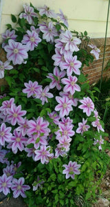 Clematis 'Bees Jubilee' Hardy Climber in 9cm pot