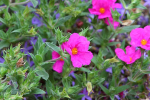 Cistus 'Sunset' Evergreen Shrub in 9cm pot