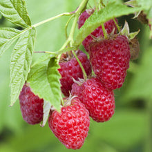 Raspberry 'Autumn Bliss' Hardy Fruit Plant in 9cm pot