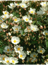 Cistus 'Corbariensis' Hardy Evergreen Plant in 9cm pot