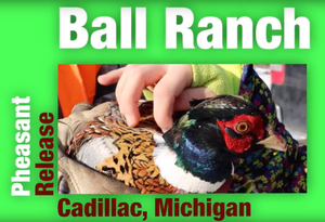 Northern Michigan Pheasant Release Success