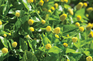 Spilanthes (toothache plant)