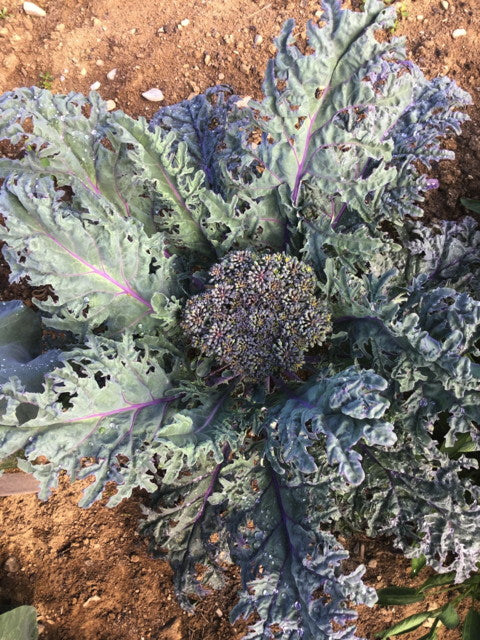 Broccoli-Purple Peacock Sprouting