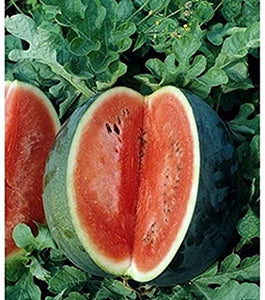 Melon- Florida Giant Watermelon (Florida heirloom)