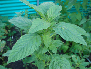 Amaranth-Green Leaf/Red Stem Caribbean Callaloo