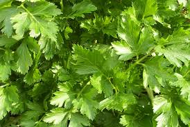 Parsley-Large Flat Leaf