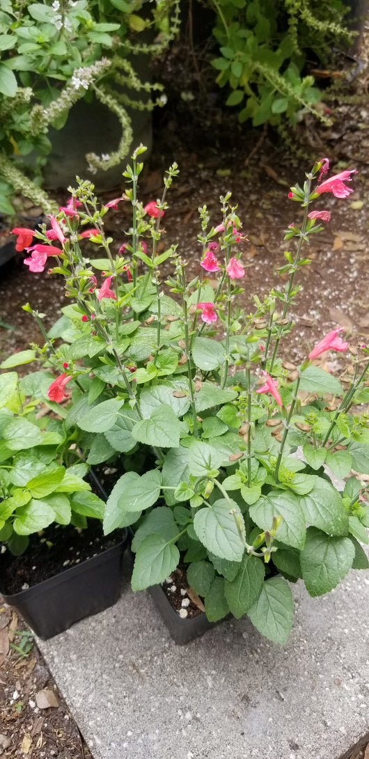 Salvia- Tropical Salvia (Scarlet Sage) (Florida Native)