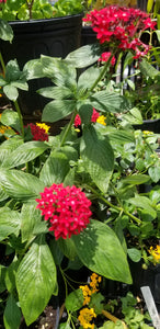Penta-Giant Red Pentas (Old fashioned) (Florida Friendly)