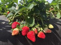 Strawberry Plants, Florida Brilliance