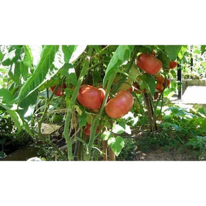 Tomato-Red Brandywine Heirloom