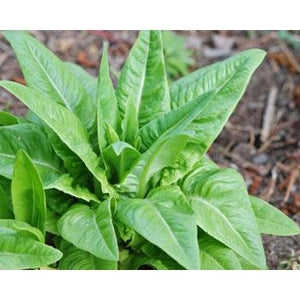 Lettuce-Green Amish Deer Tongue Leaf