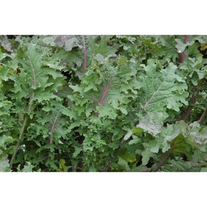 Kale-Red Russian
