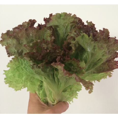 Lettuce-Red Fire Leaf