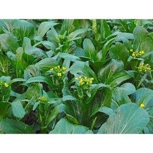 Flowering Brassica- Jung Green