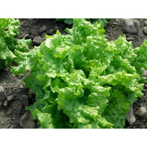Lettuce-Blackseed Simpson Leaf