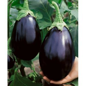 Eggplant-Black Beauty Italian