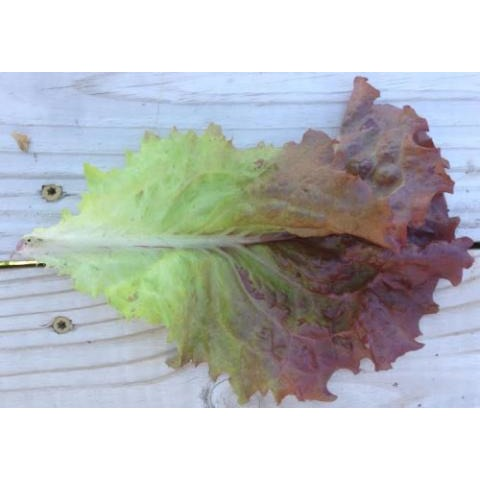 Lettuce-Ruby Red Leaf