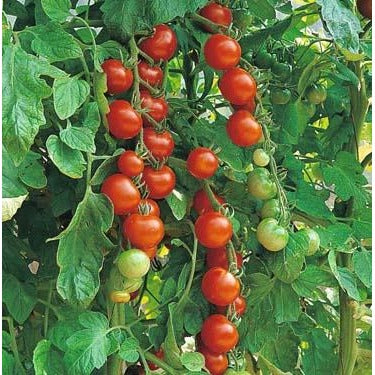 Tomato-Sweetie Heirloom Cherry
