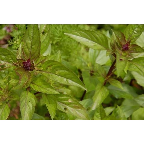 Basil-Thai Red Stem