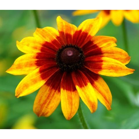 Daisy-Gloriosa Black Eyed Susan