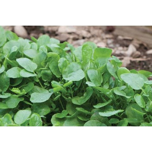 Salad Greens-Upland Cress