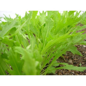 Salad Greens-Early Mizuna