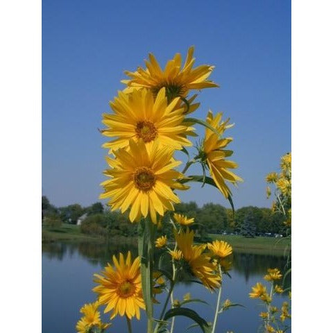 Sunflower Maximilian'