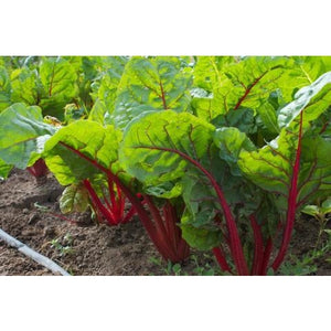 Chard-Ruby Red