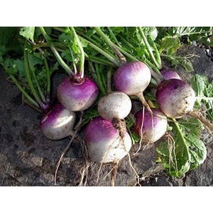 Turnip-Purple Top White Globe