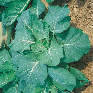 Collards-Georgia