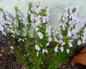 Georgia Calamint (Calamintha) (Florida Native)