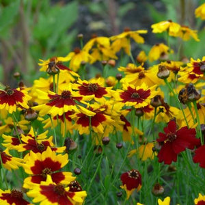 Coreopsis- Plains (Coreopsis Tinctoria) (Florida Native)