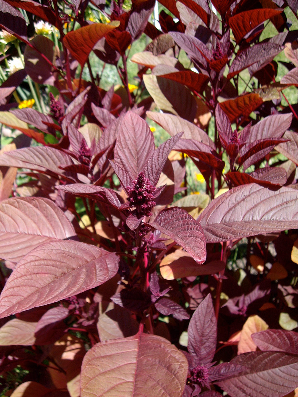 Amaranth-Red