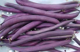 Bush Bean-Burgundy