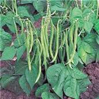 Bush Bean-Tender Green Improved