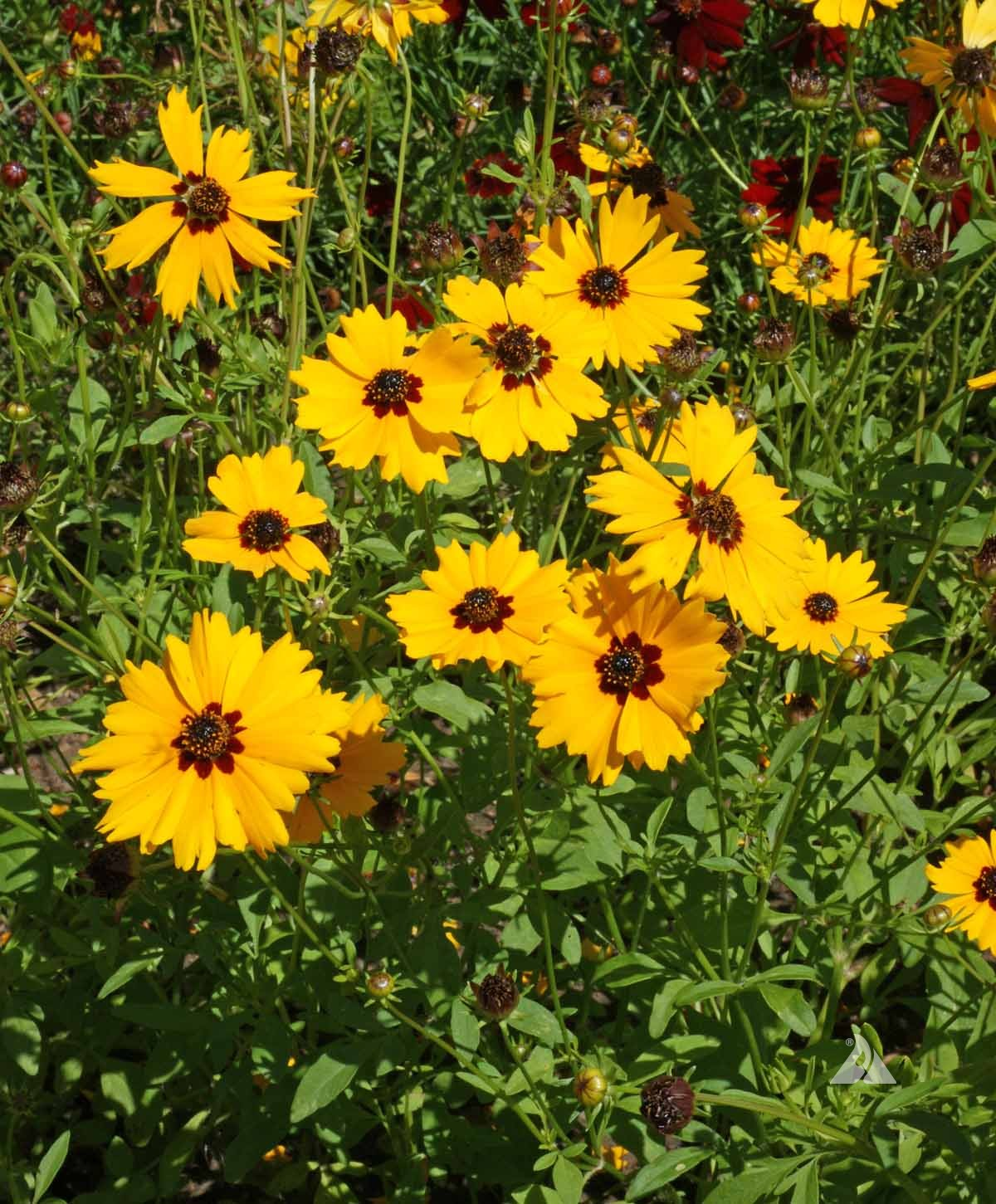 Coreopsis- Golden Wave Tickseed (Coreopsis Basalis) (Florida Native)