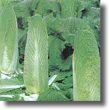 Cabbage-Green Rocket Chinese