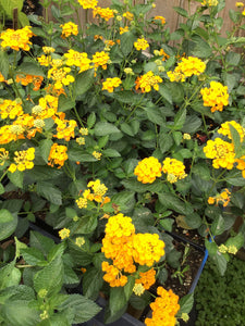 Lantana- New Gold Yellow Lantana (sterile) (Florida Friendly)