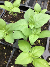 Basil- Sweet Basil - Rutgers Obsession Downy Mildew Resistant