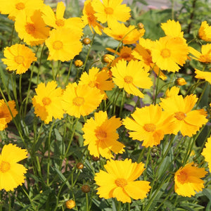 Coreopsis- Dwarf Lance Leaved (Coreopsis Lanceolata) (Florida Native)