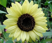 Sunflower-Lemon Queen