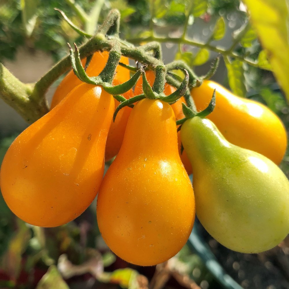 Tomato-Yellow Pear